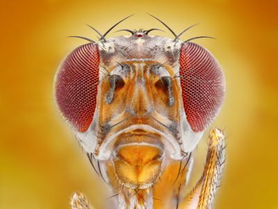 A close up of a fruit fly's head.